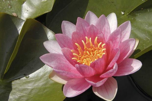 Nymphaea 'Sultan'