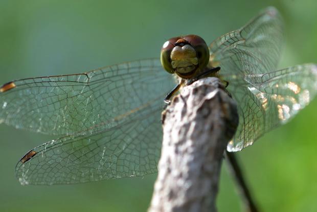 Odonata (ordre).