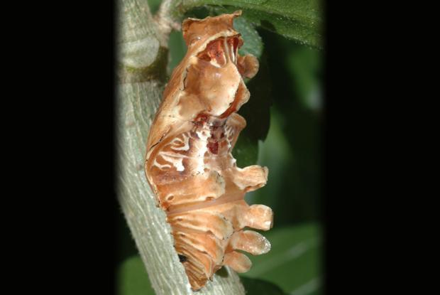 Pachliopta kotzebua (chyrsalide)