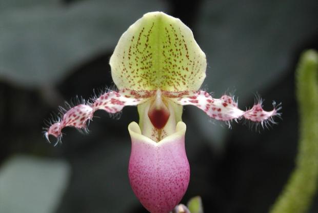 Paphiopedilum glaucophyllum var. moquetteanum.