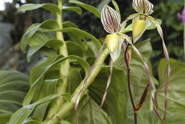 Paphiopedilum philippinense var. roebelinii
