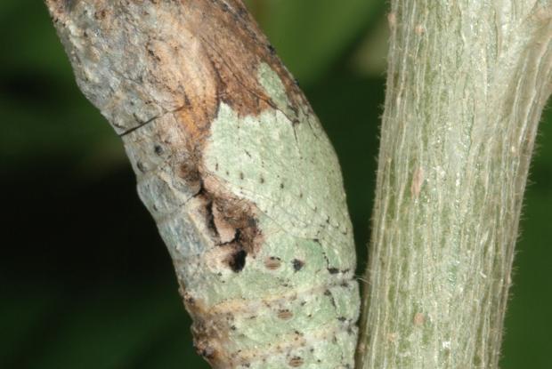 Papilio anchisiades, Costa Rica.
