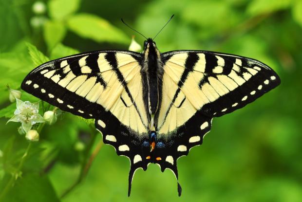 Papilio canadensis