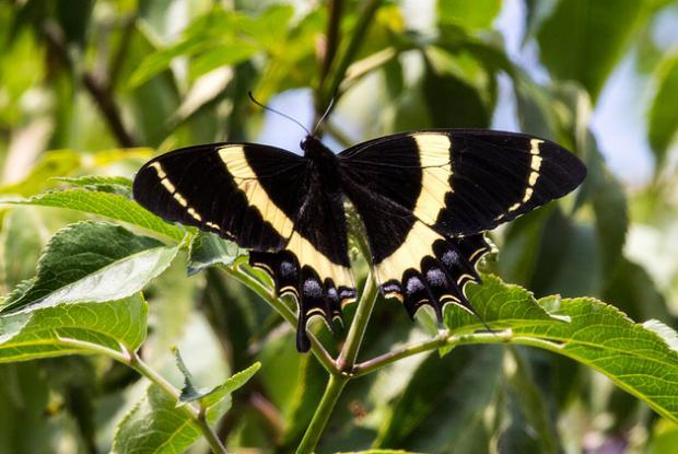 Papilio garamas