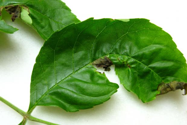 Ash leaf affected by anthracnose disease