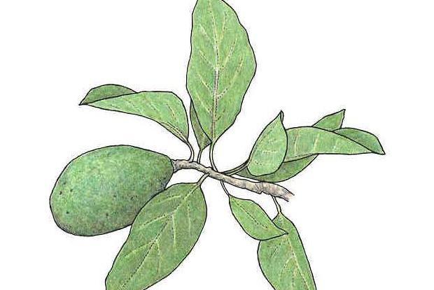 Persea americana Mill. (syn. Laurus persea L., P.grattissima Gaer