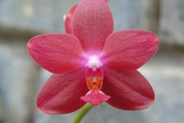 Phalaenopsis Mahalo 'T.K.' HCC/AOS.