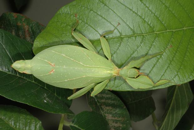 Phyllium sp., Philippines.