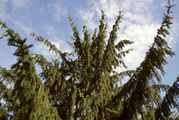 Picea abies.