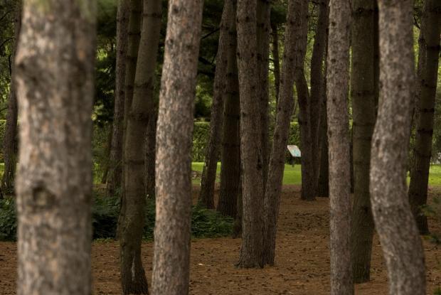 Pinède des pins blancs.