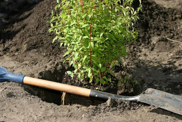 A shovel and a shrub about to be planted.