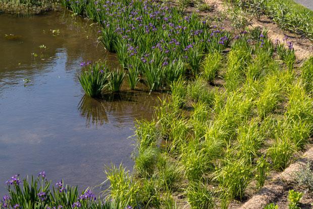 Des plantes aquatiques sur l'une des berges de l'étang de la Maison de l'arbre Frédérick-Back