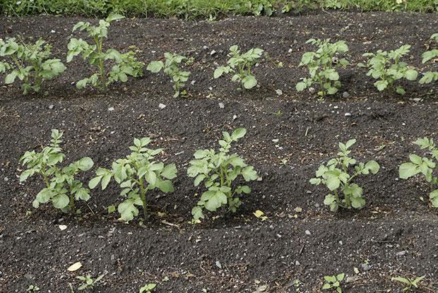 Potato plants in a vegetable garden.