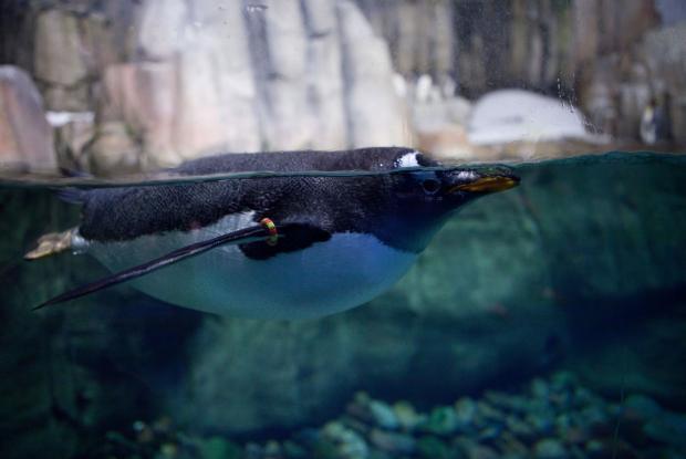 Gentoo penguin (Pygoscelis papua).