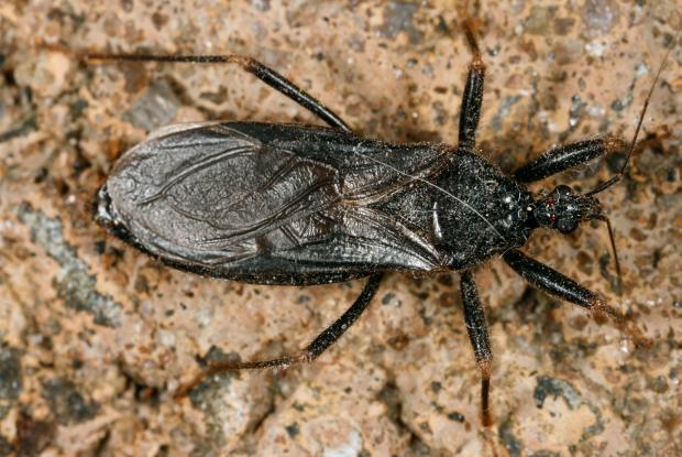 Hemiptera, Reduvius personatus, Québec, Canada.