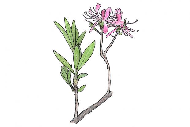 Rhododendron canadense