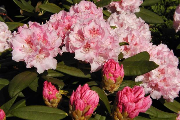 Rhododendron 'Ingrid Melquist'