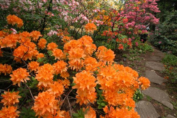 Growing Rhododendrons Space For Life