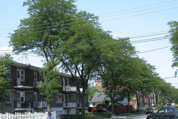 Arbres de rue urbains