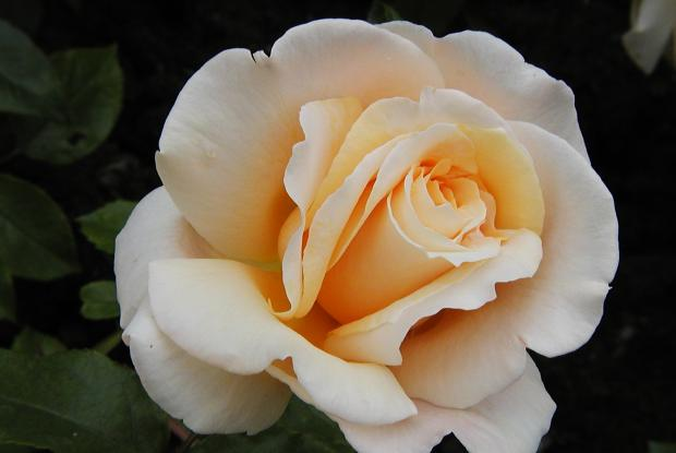 Rosa 'Dr Brownell'