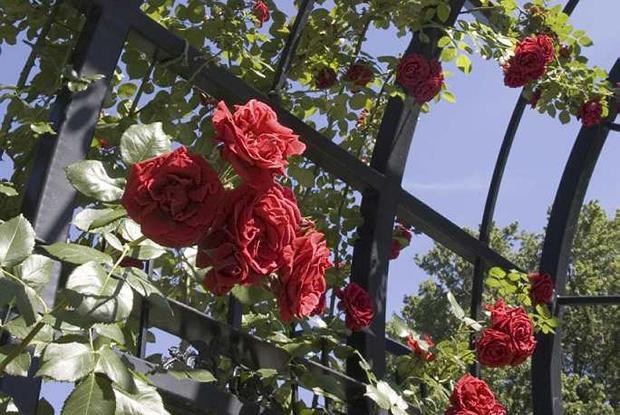 Rosa 'Sympathie'