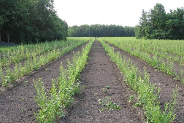 Short rotation intensive cultivation of willows | Space for life