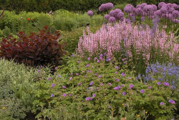 Salvia pratensis