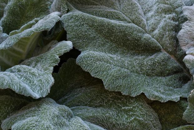 Sauge argentée (Salvia argentea)
