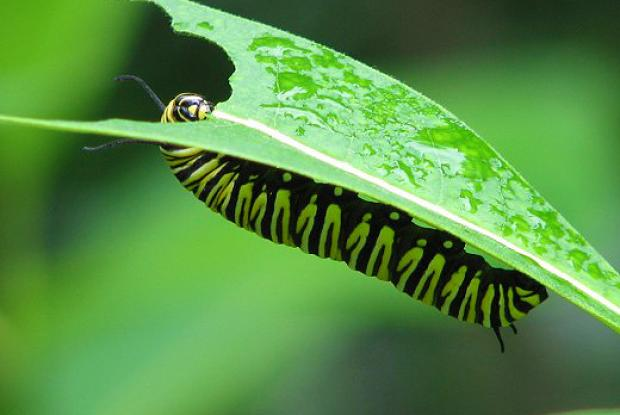 Caterpillar chewing a milkweed leaf