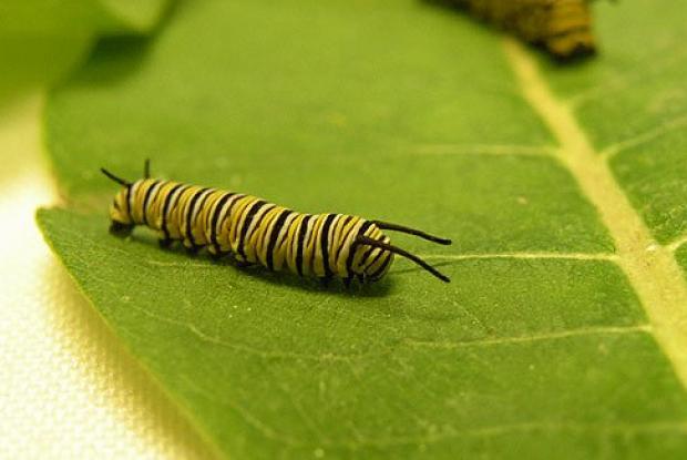 4th instar caterpillar