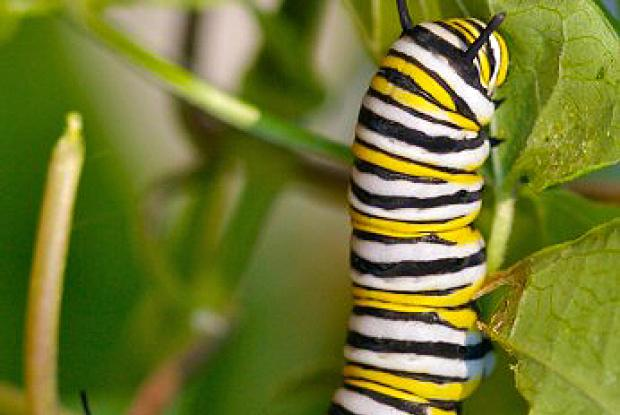 Fully grown caterpillar