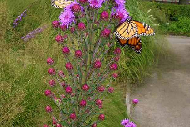 Fleurs nectarifères et monarques