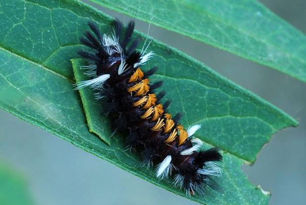 Dernier stade larvaire de l'arctiide de l'asclépiade