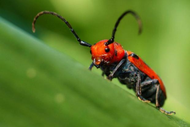 Common milkweed beetle