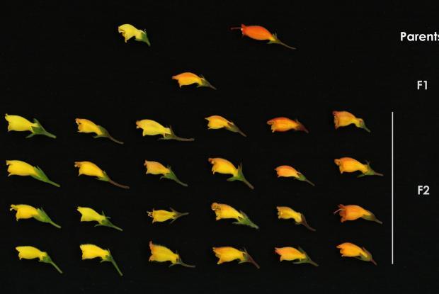 Croisement entre deux espèces et variation morphologique observée dans la population hybride de deuxième génération (F2).