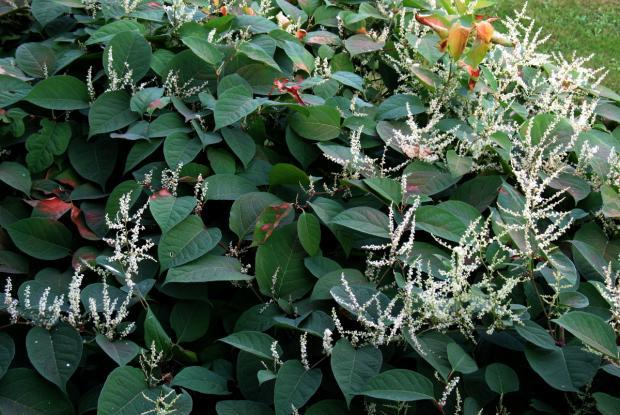 Japanese knotweed blooming
