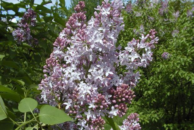 Syringa vulgaris 'Merlyensis'.