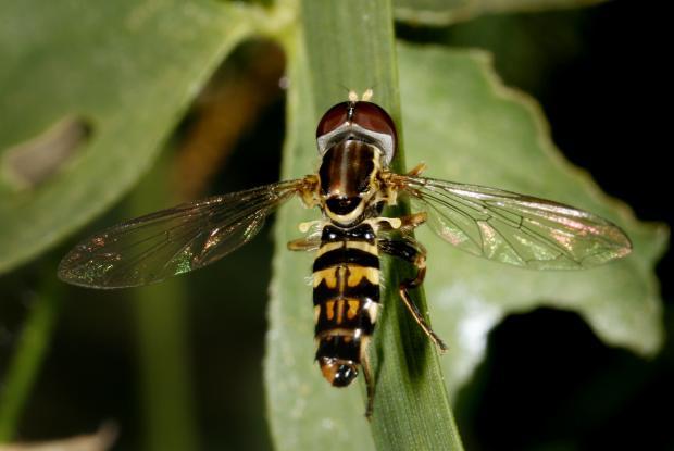 Syrphidae, Québec, Canada.