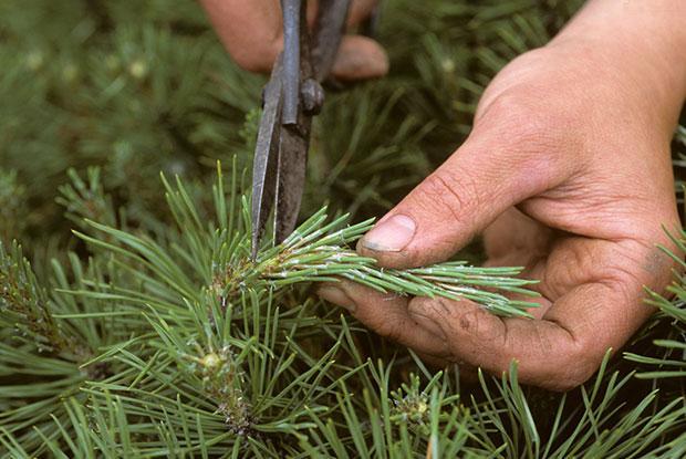 A man pruns a branch of a conifer.