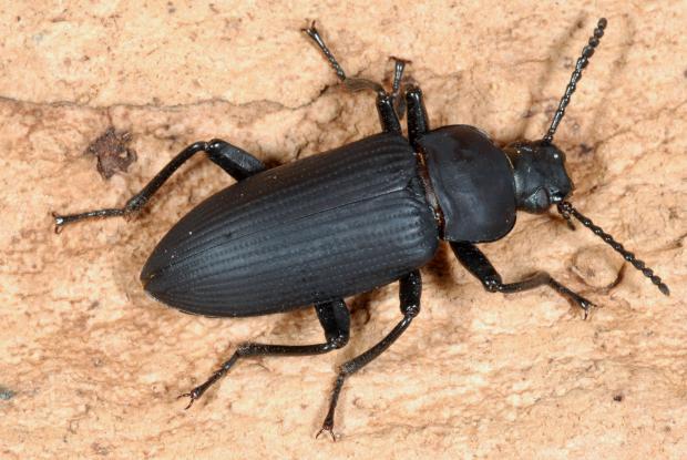 Coleoptera, Tenebrionidae.