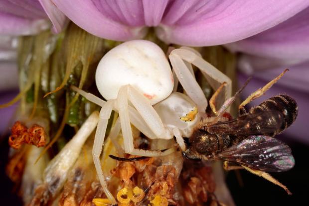 Thomisidae, Québec, Canada.