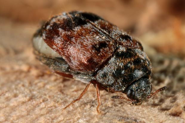 Trogoderma variabile, Québec, Canada.