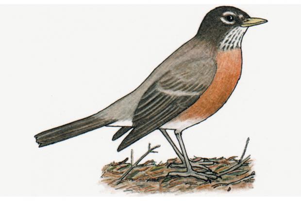 Turdus migratorius
