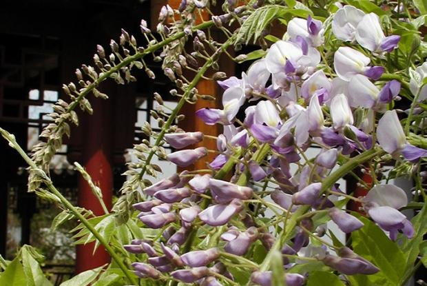 Japanese Wisteria Space For Life