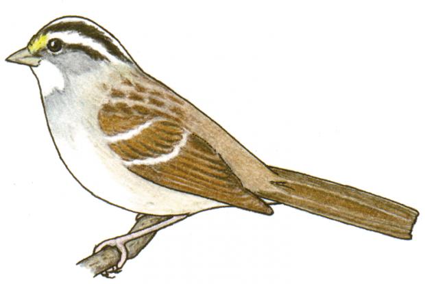 Zonotrichia albicollis