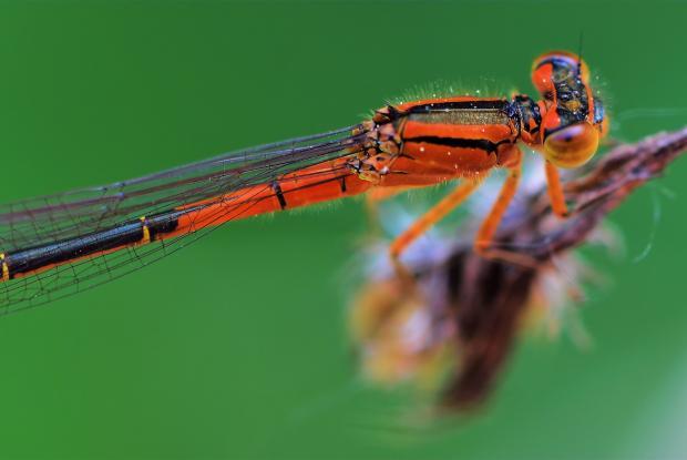 Zygoptera