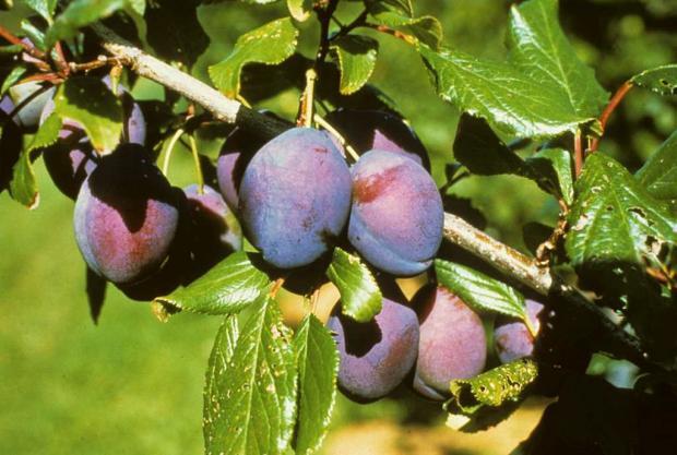 Prunus 'Blue Bell'