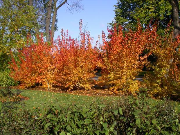 Acer tataricum ssp. ginnala.