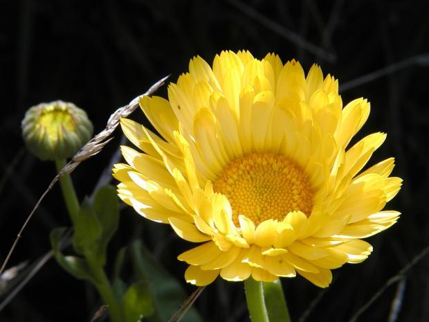 Calendula officinalis.