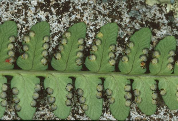 Dryopteris marginalis.